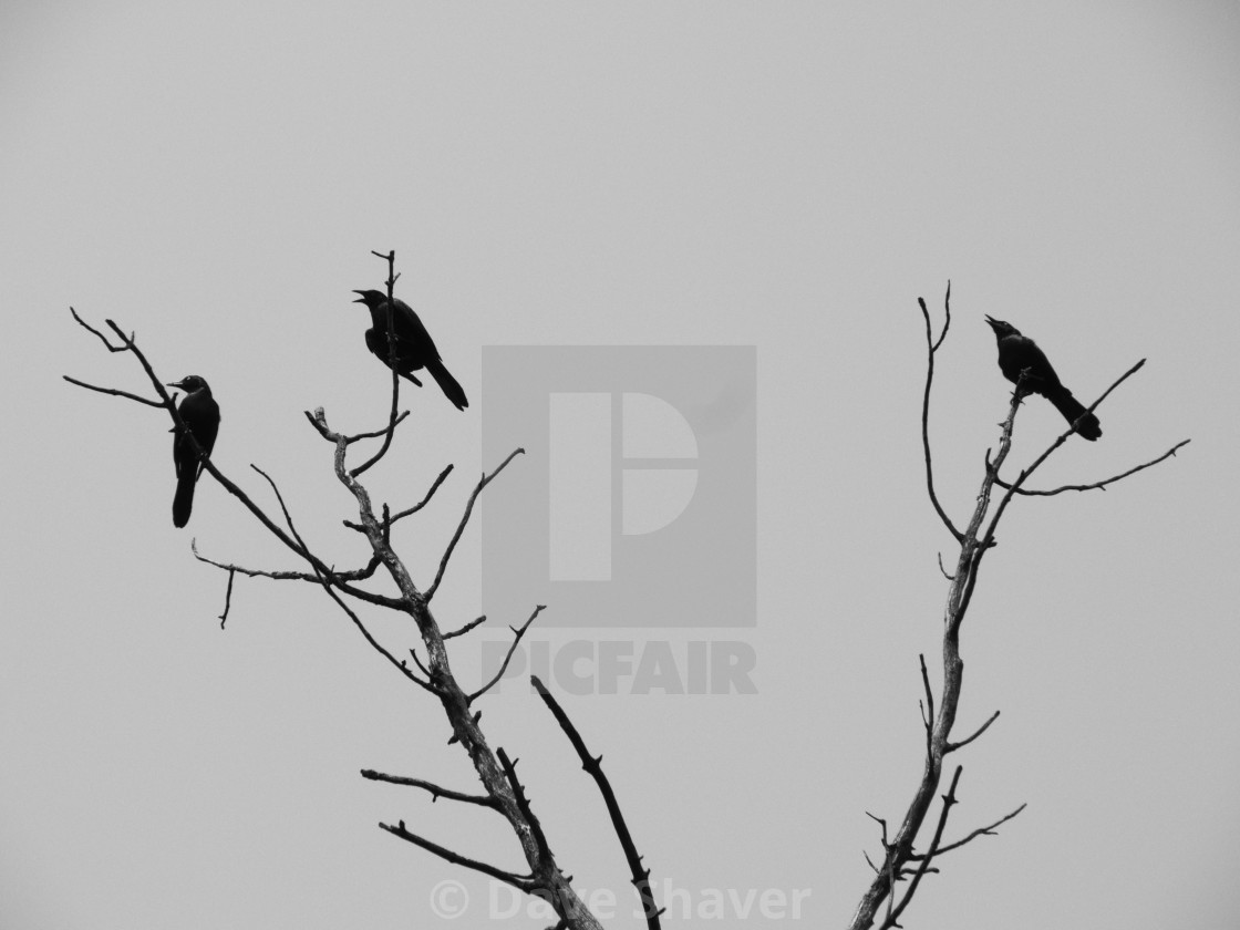 """""""Three Common Grackles Calling"""" stock image"""