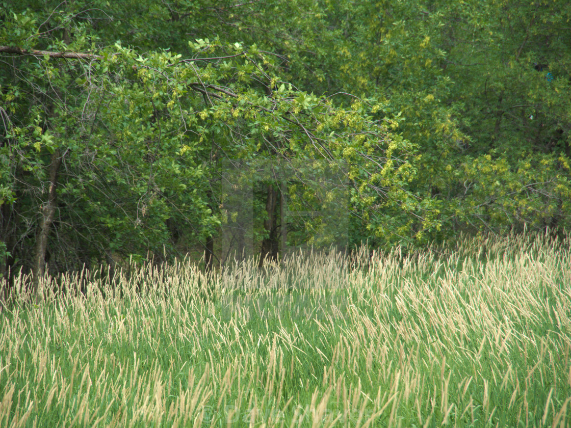 """""""Waving Wild Grass With Trees"""" stock image"""
