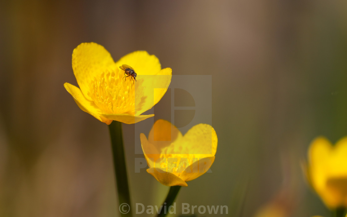 """Marigold with Fly"" stock image"