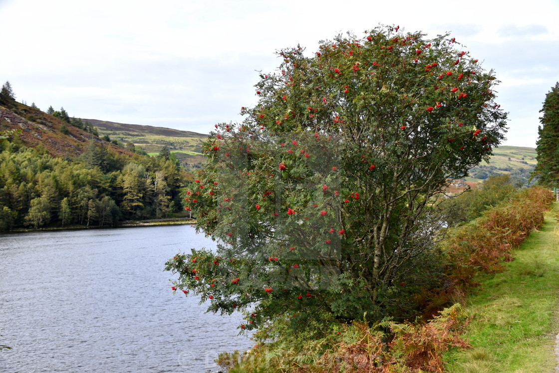 """""""A berry tree in North Wales"""" stock image"""