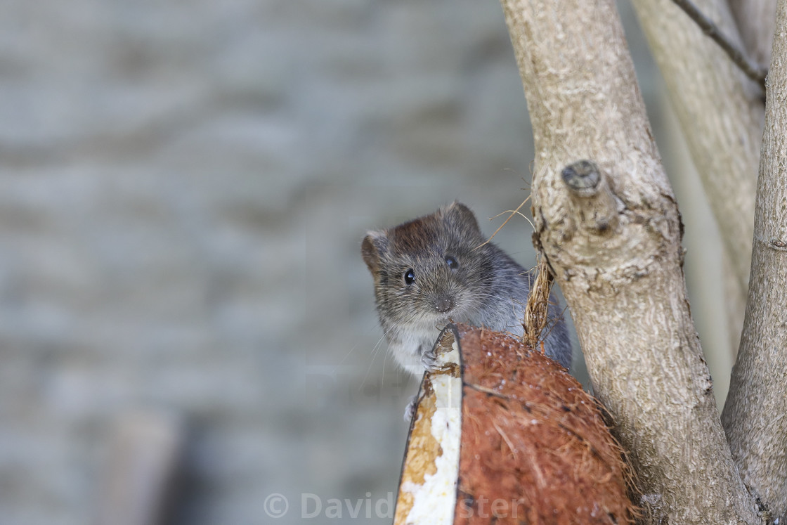 """""""Bank Vole Clethrionomys glareolus Clinging onto a Coconut Shell"""" stock image"""
