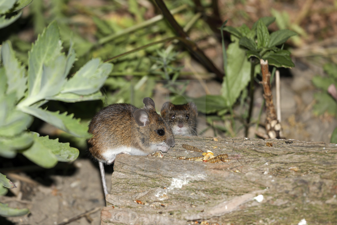 """Wood Mouse (Apodemus sylvaticus) and Bank Vole"" stock image"
