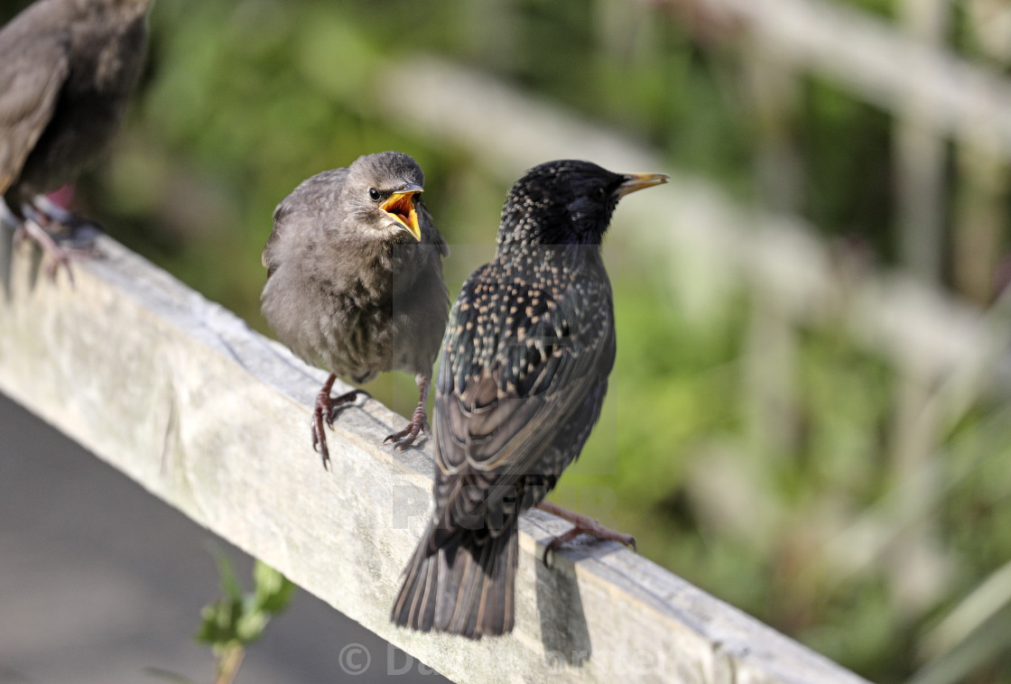 """Starling Fledgling (Sturnus Vulgaris) Perched on a Garden Fence"" stock image"