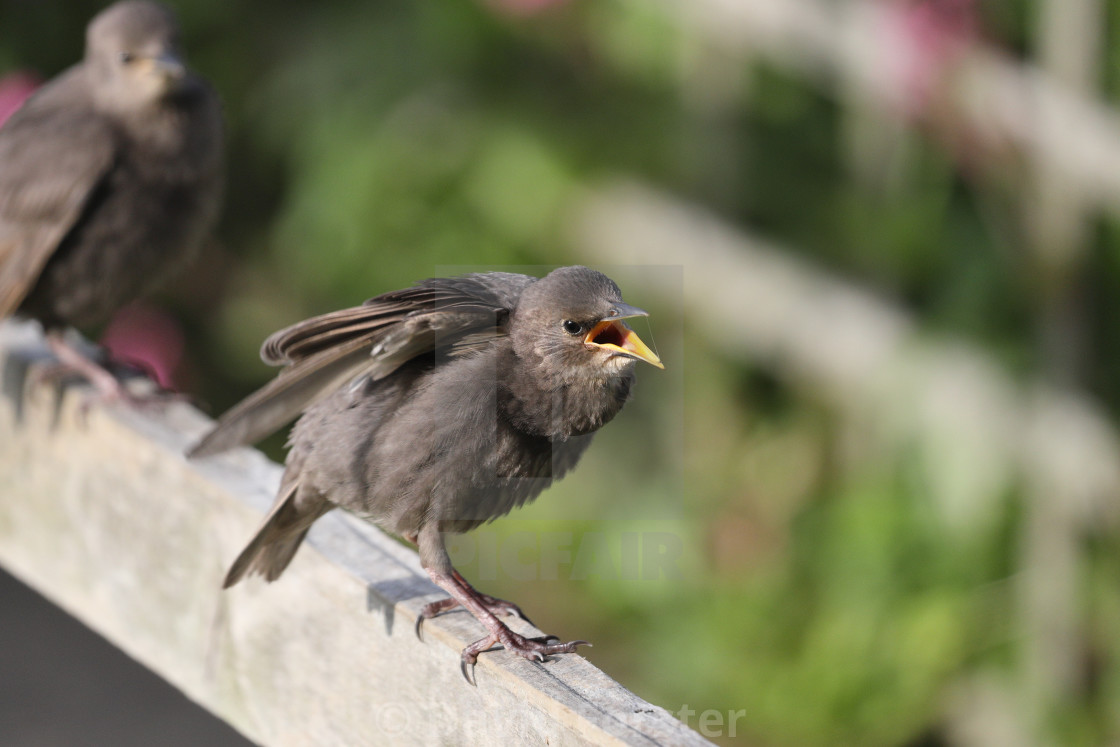 """""""Starling Fledgling (Sturnus Vulgaris) Perched on a Garden Fence"""" stock image"""