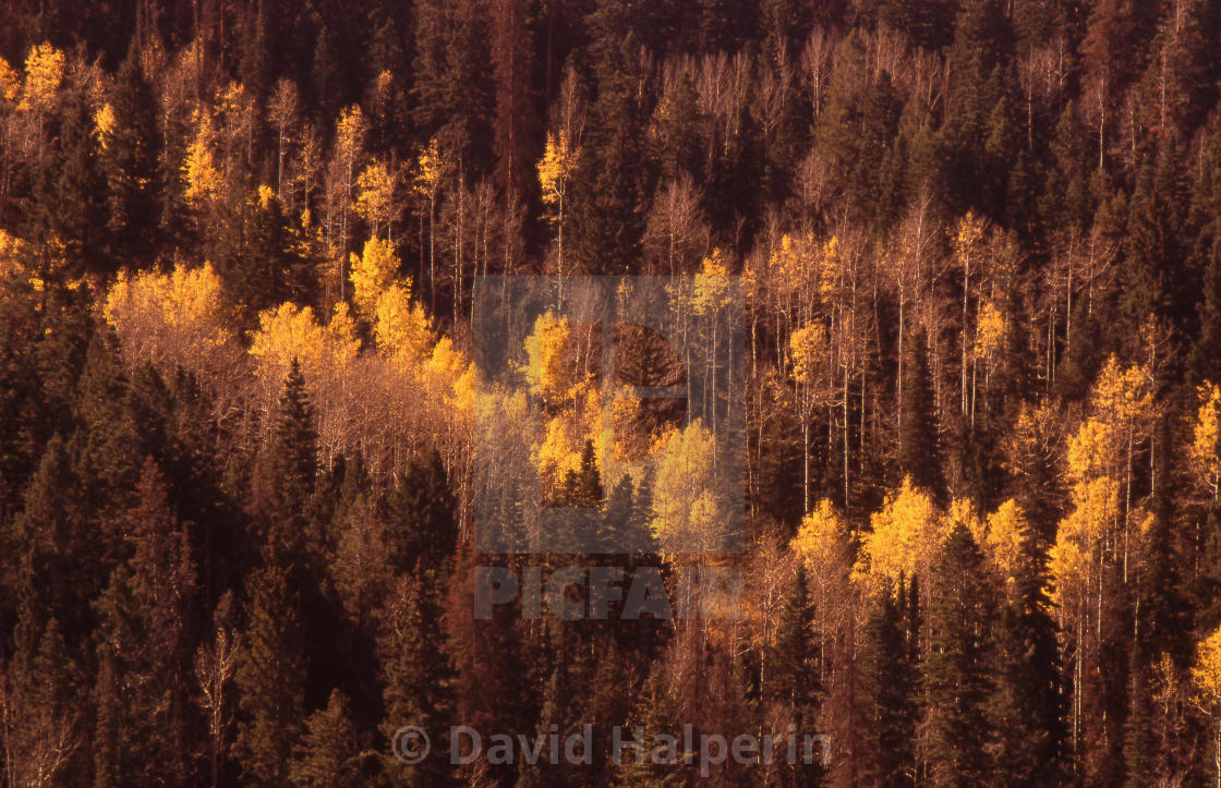 Yellow aspen & pine, Dixie National Forest