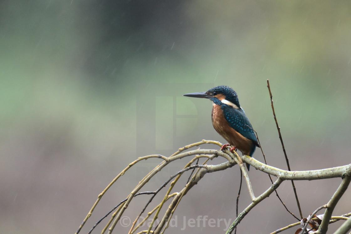 """Kingfisher Perching in the rain, close"" stock image"