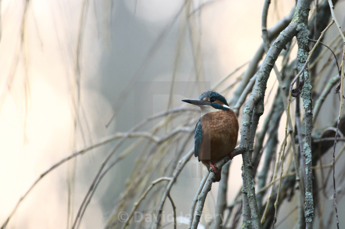 """""""A Kingfisher perching, Sussex"""" stock image"""