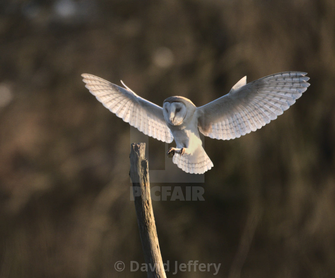 """""""Barn Owl coming in to land"""" stock image"""