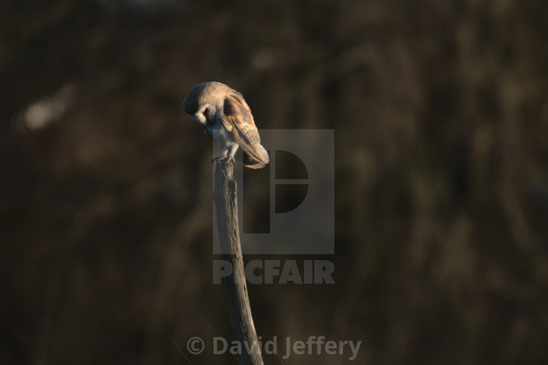 """""""Perched Barn Owl"""" stock image"""