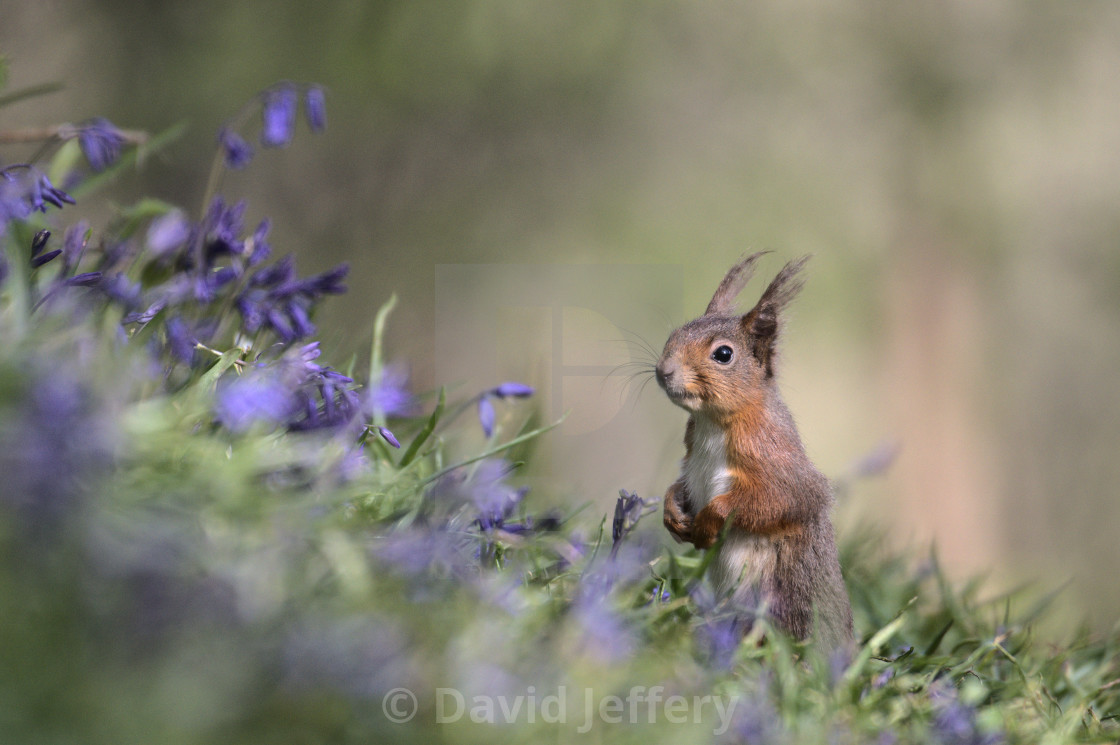 """""""Red Squirrel amongst Bluebells"""" stock image"""