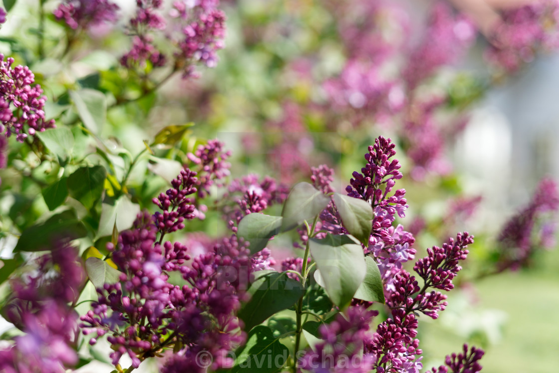 """Lilac tree"" stock image"