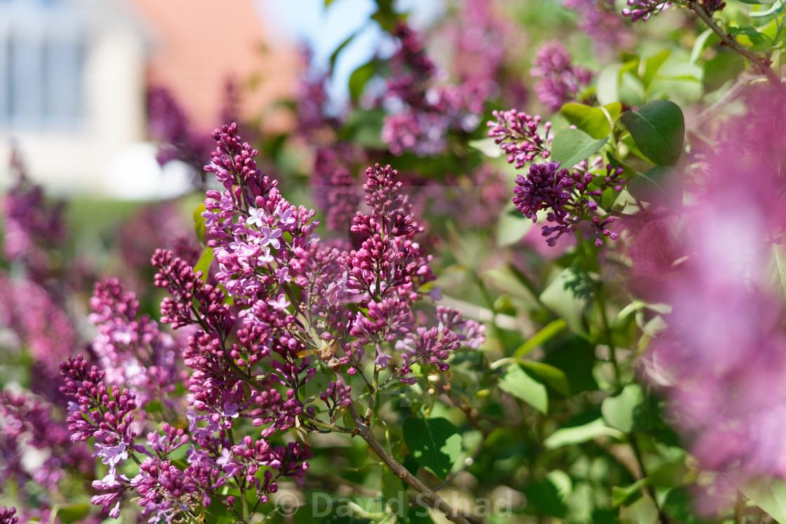 """Lilac tree"" stock image"