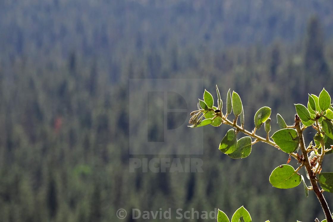 """""""Branch in Yosemite National Park"""" stock image"""