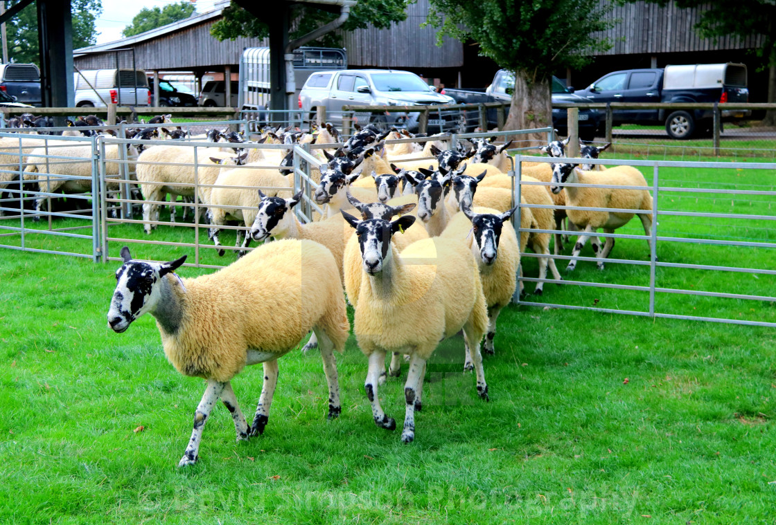 """Beltex and breeding sheep fair"" stock image"