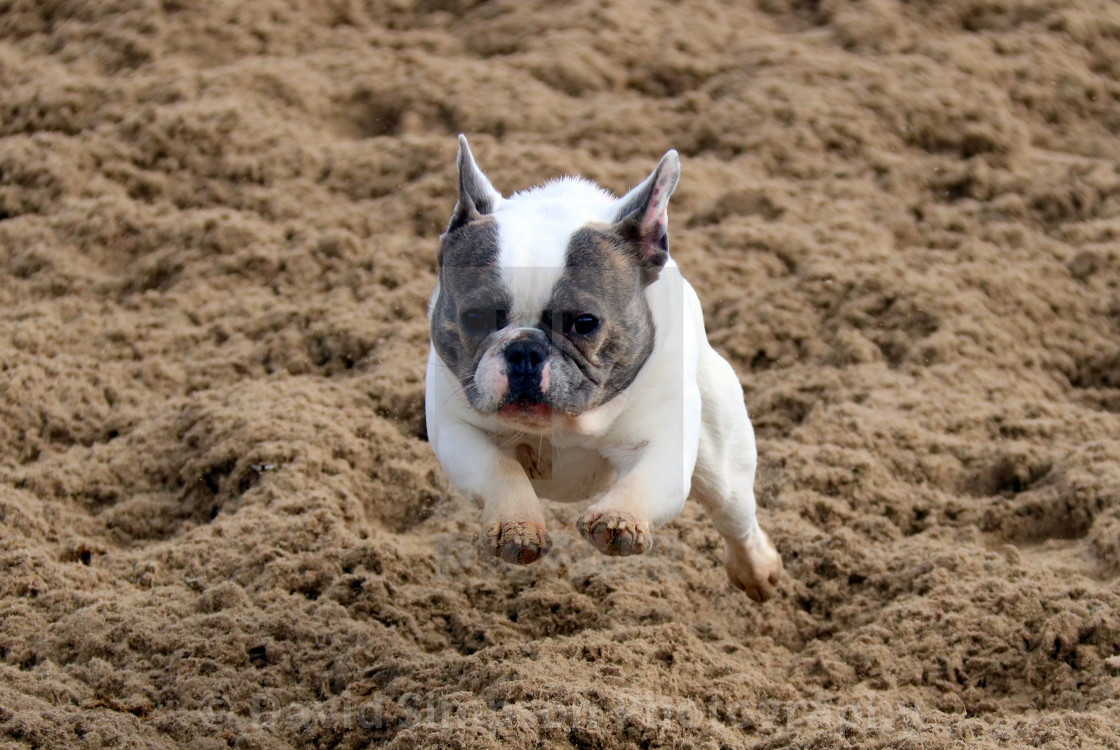 """French bulldog on the gallops"" stock image"