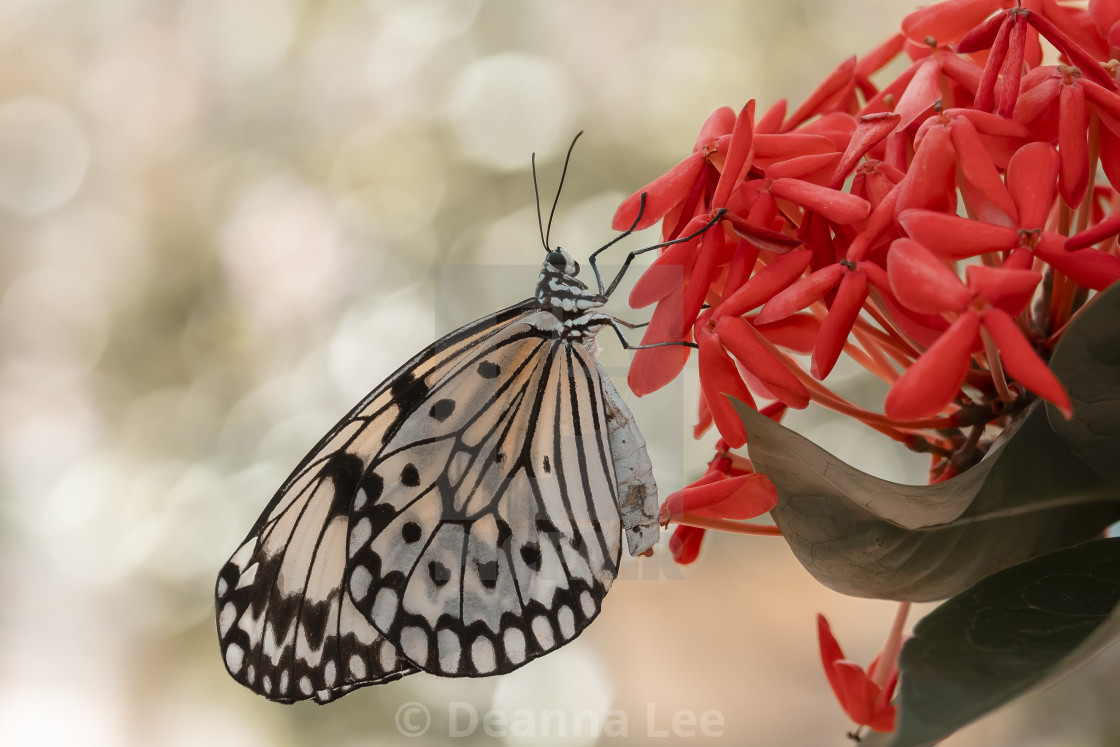 """""""White Butterfly"""" stock image"""