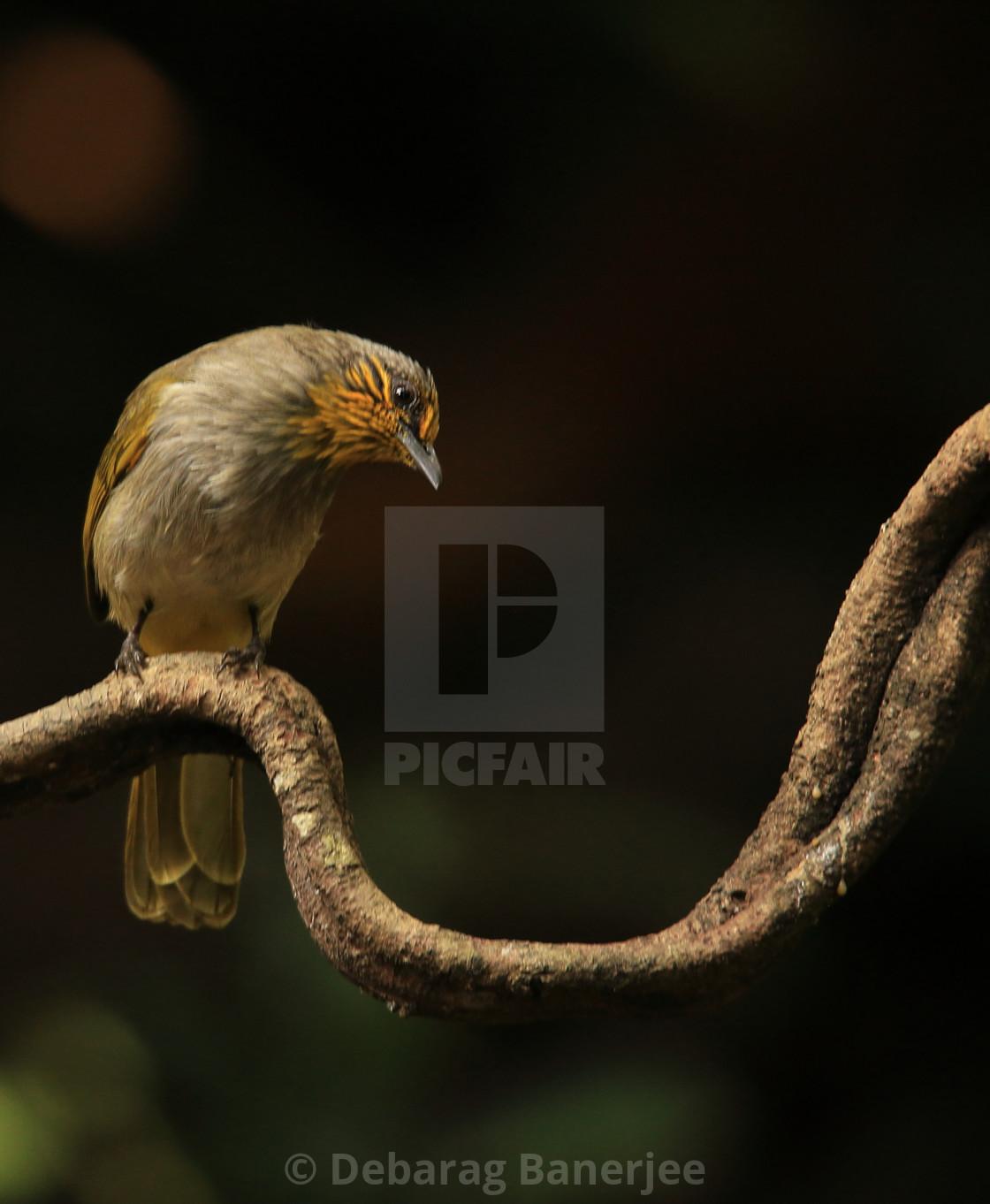 """""""Stripe Throated Bulbul bird"""" stock image"""