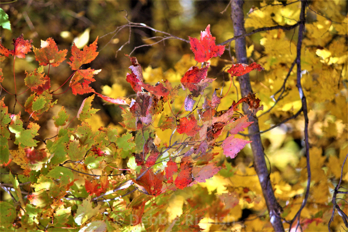 """""""Red Maple Leaf"""" stock image"""