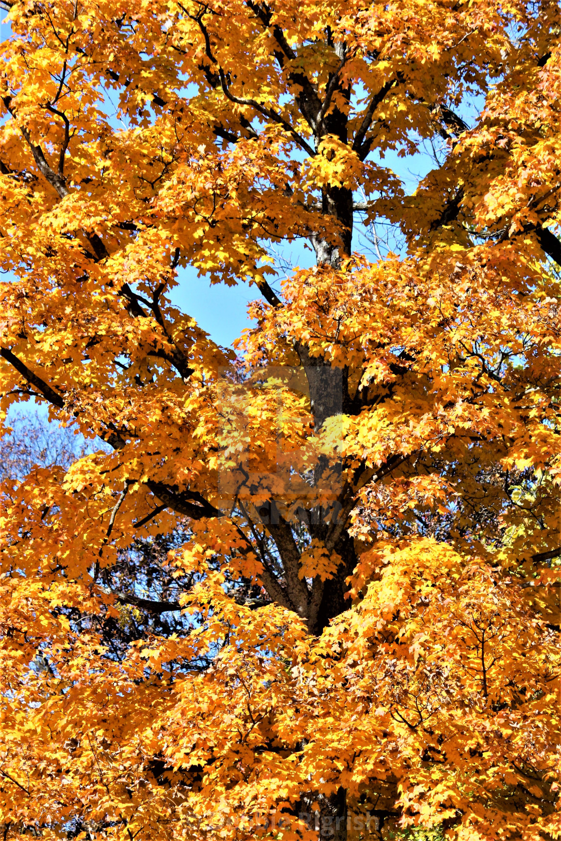 """""""Fall Maple Leafs"""" stock image"""