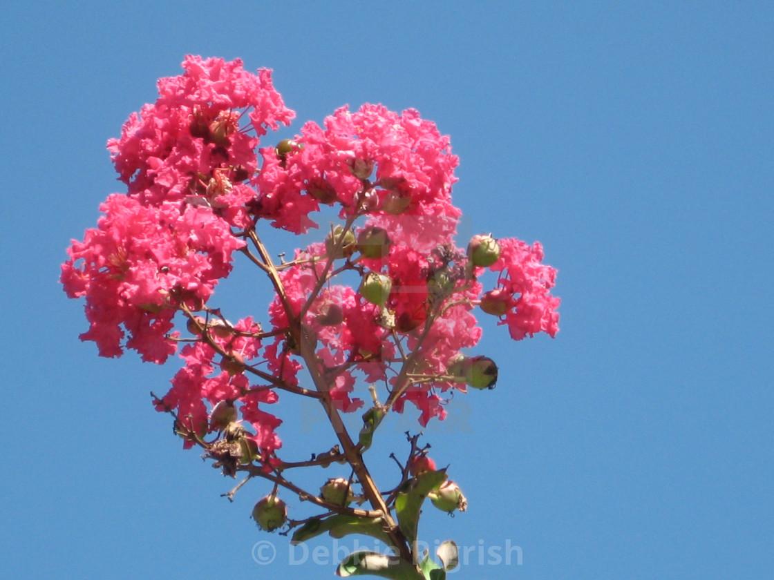 """Pink Crape Myrtle"" stock image"