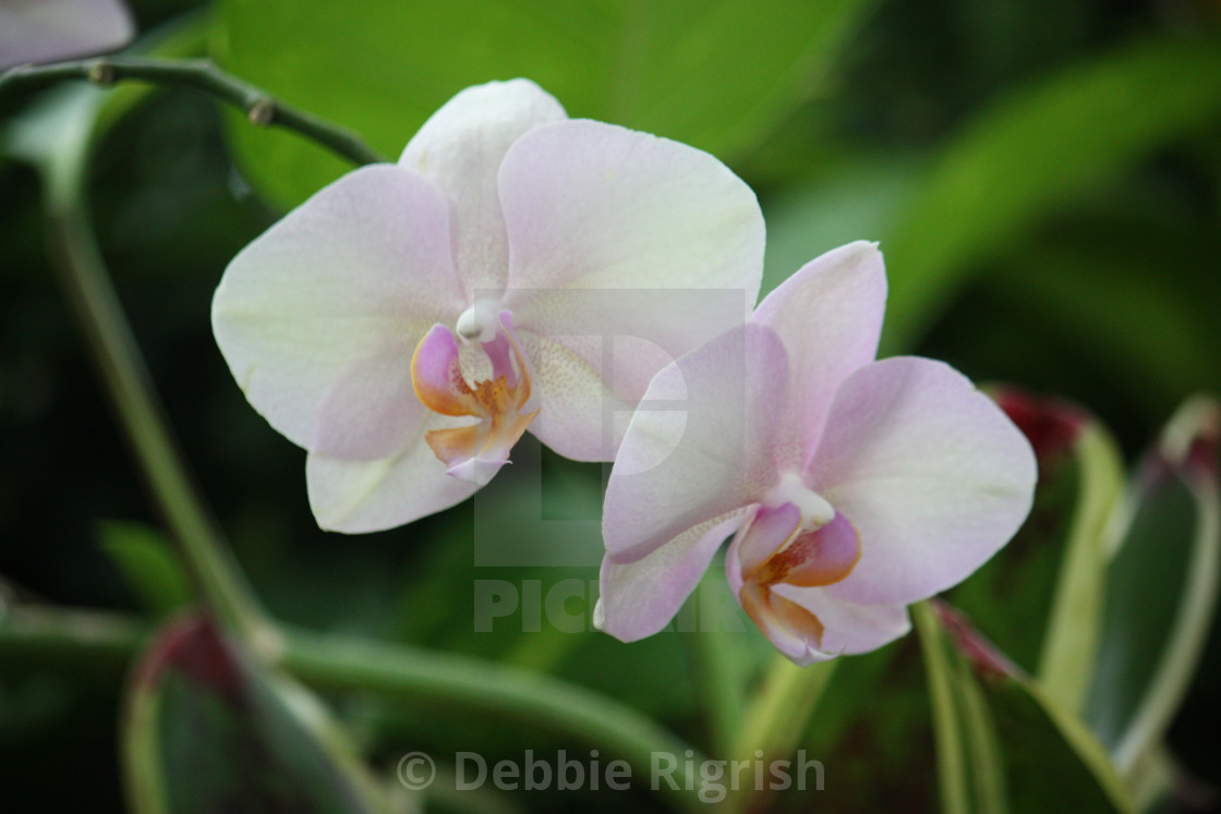 """""""Light Pink Orchid"""" stock image"""
