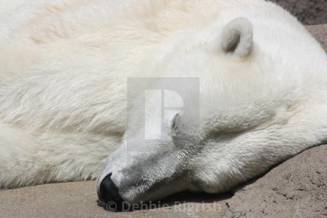 """Polar Bear"" stock image"