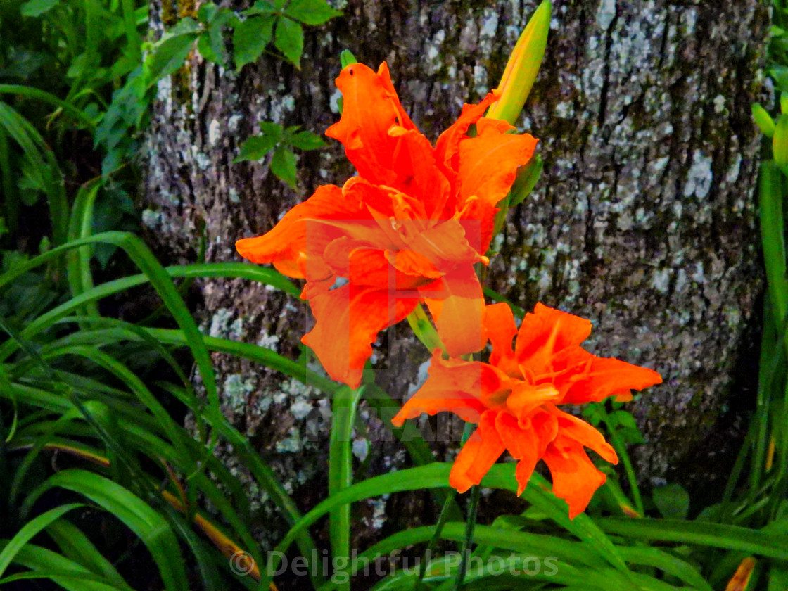 """Tiger Lily"" stock image"