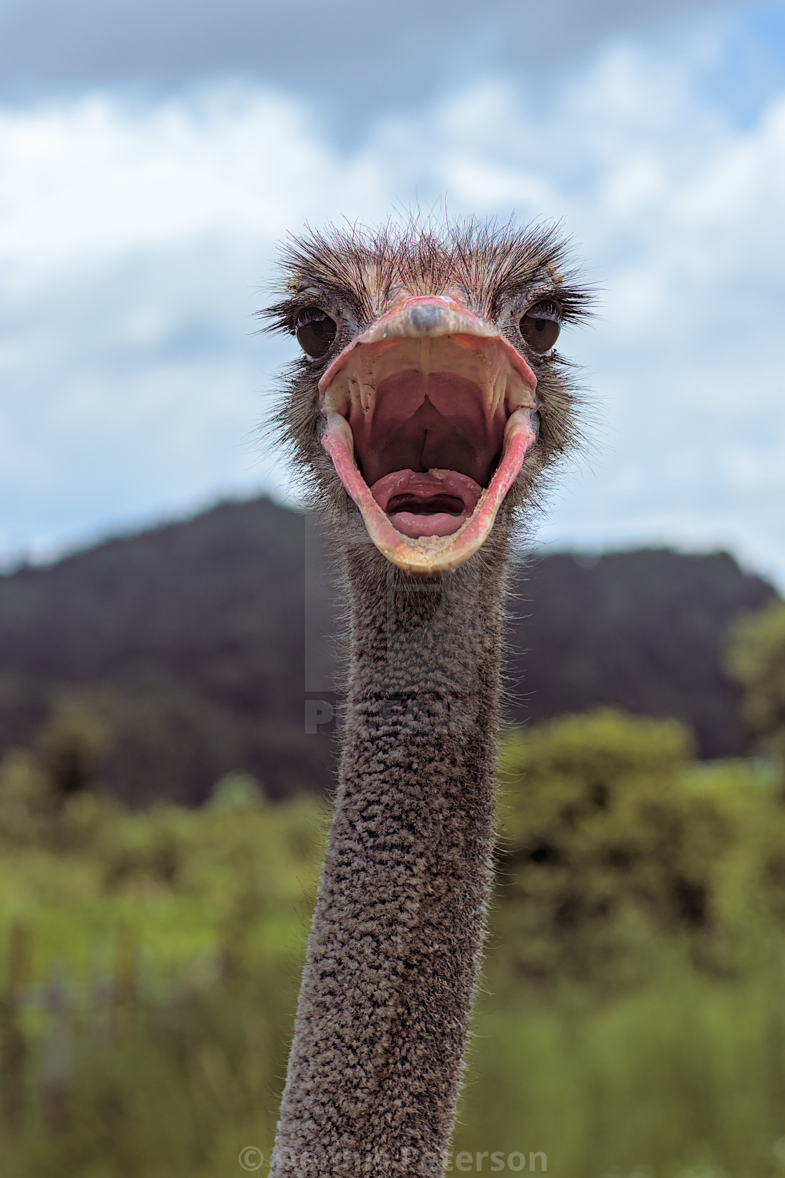 """an ostrich with mouth open wide"" stock image"