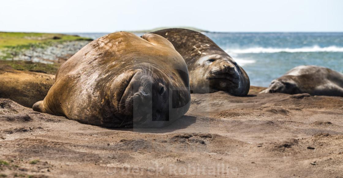 Southern Elephant Seals Sleeping