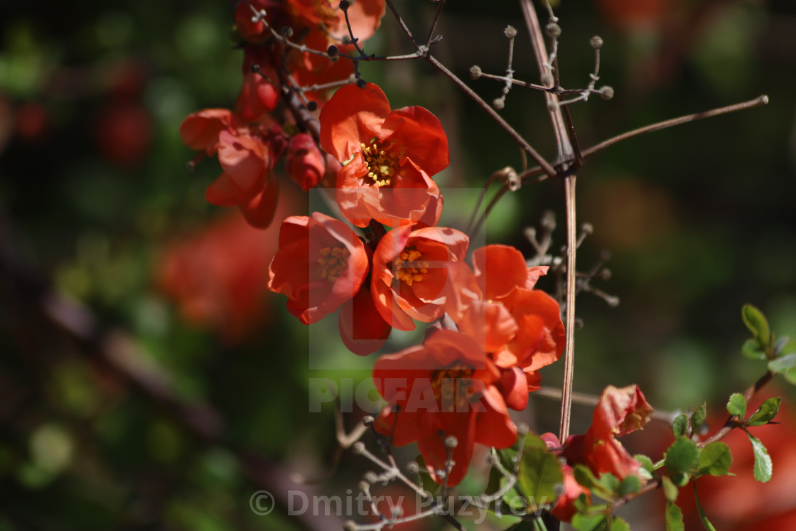 """""""Red Flowers"""" stock image"""