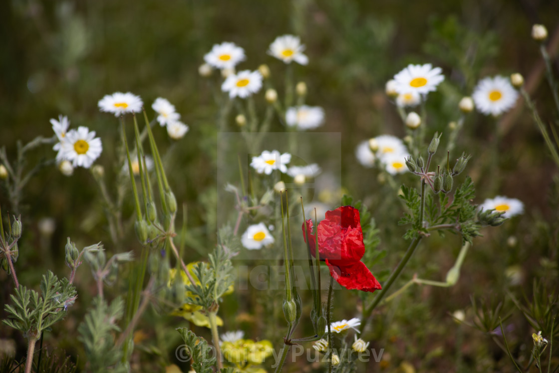 """Poppy and daisies"" stock image"