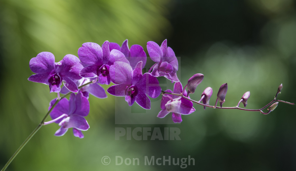 """Orchids in Thailand"" stock image"