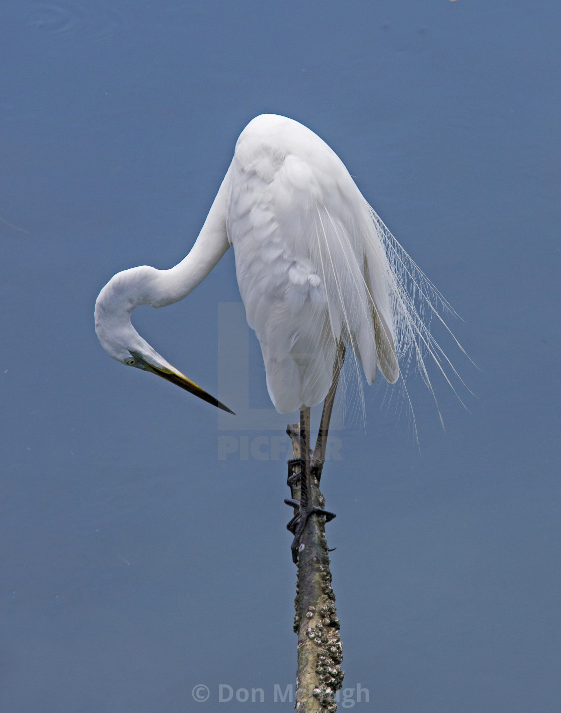 """Great White Egret on a Stick"" stock image"