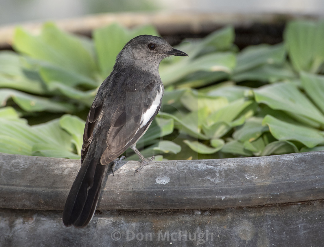 """Pied Robin-Female"" stock image"