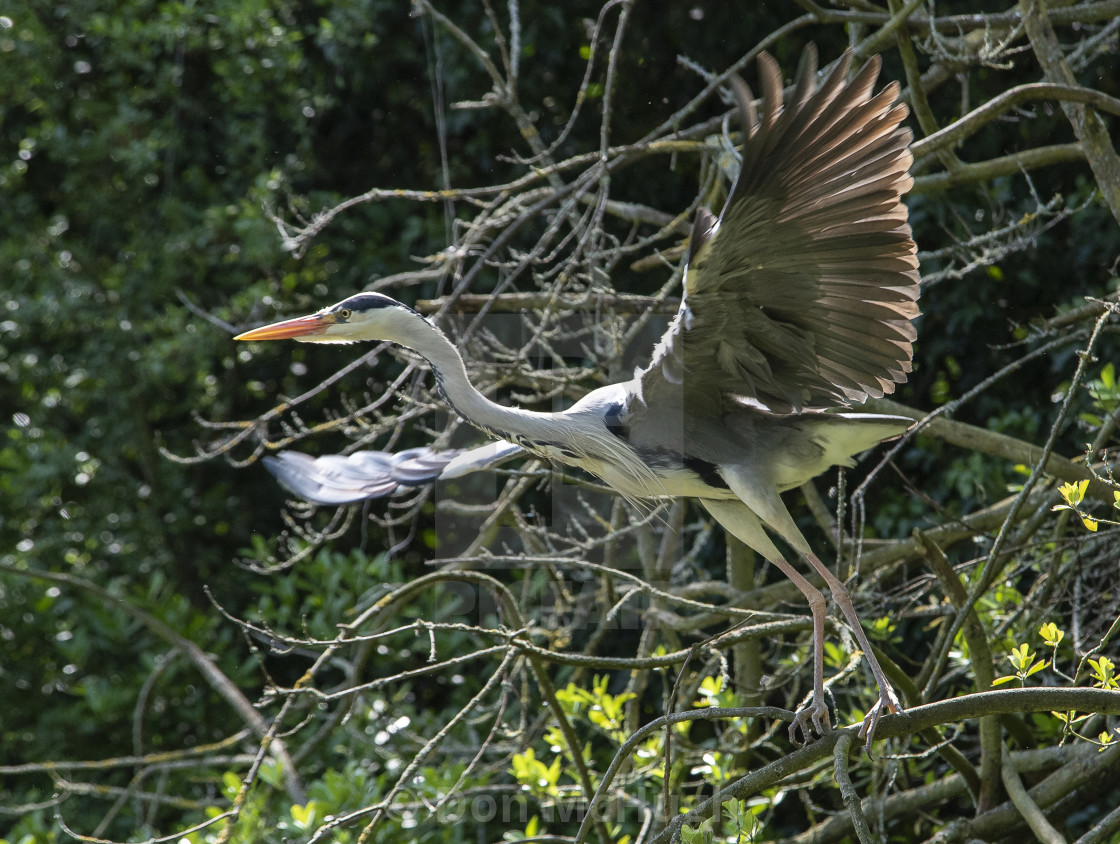 """""""Grey Heron Take Off"""" stock image"""