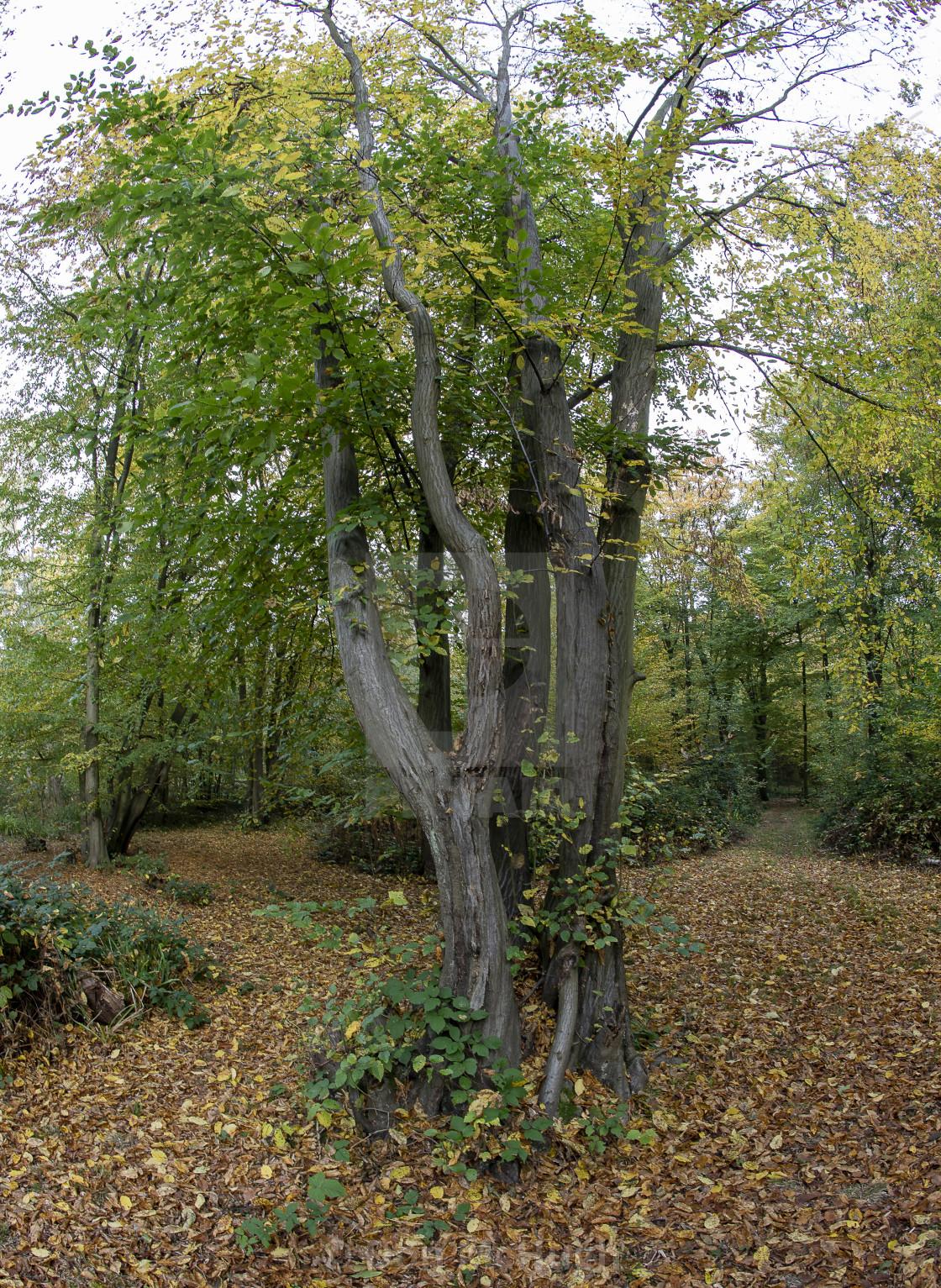 """""""Westwood Tree"""" stock image"""