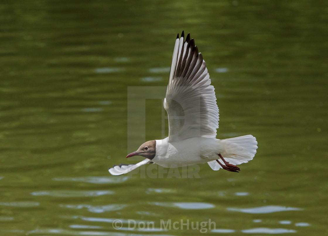 """Black Headed Gull (I)"" stock image"