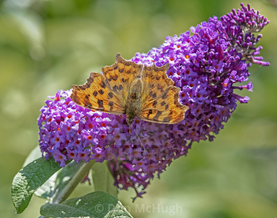 """""""Comma Butterfly on Buddleia"""" stock image"""