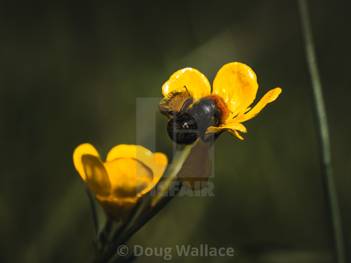 """""""A bumblebee and buttercups."""" stock image"""
