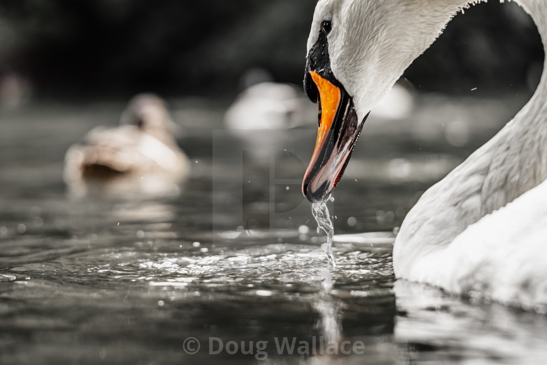 """""""A swan taking a drink."""" stock image"""