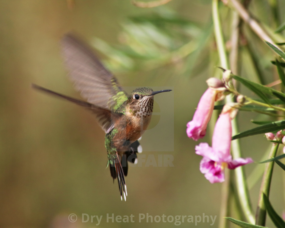 """Rufous Hummingbird in flight"" stock image"
