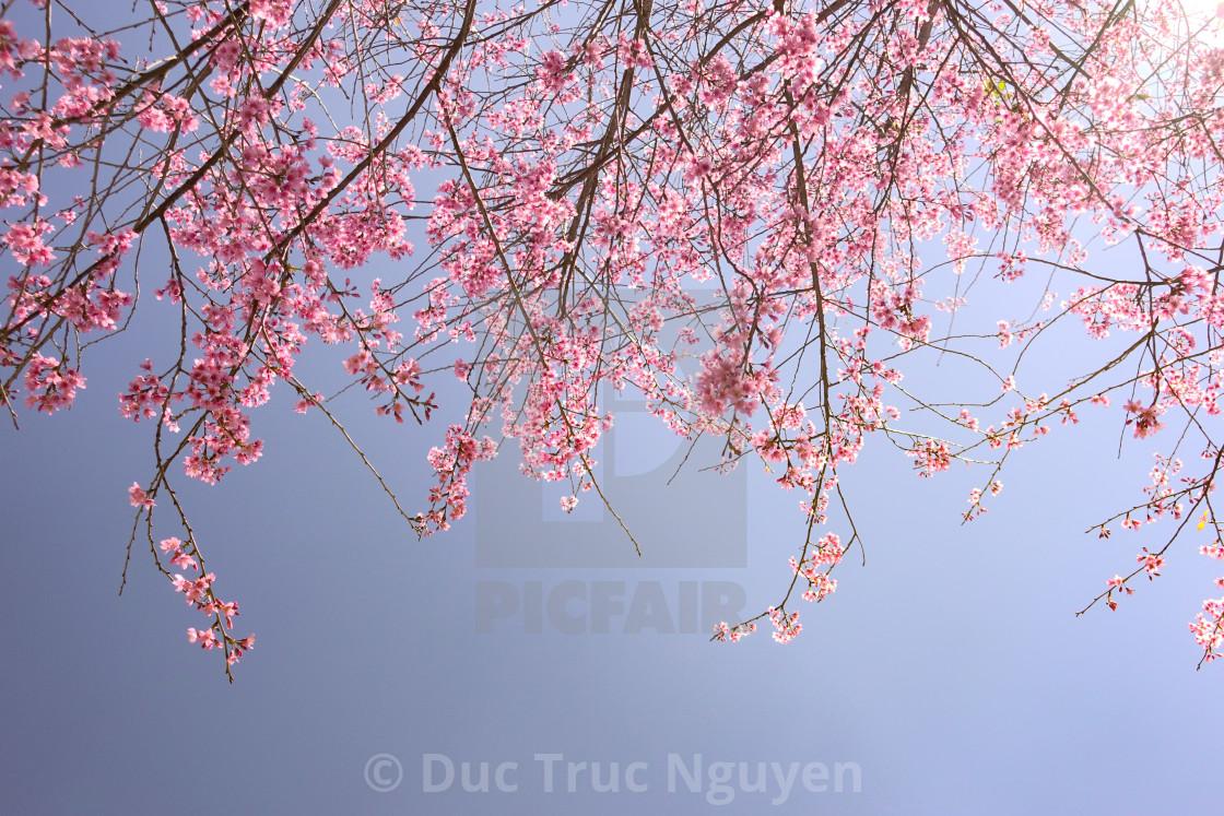 """Cherry Blossom Flowers"" stock image"