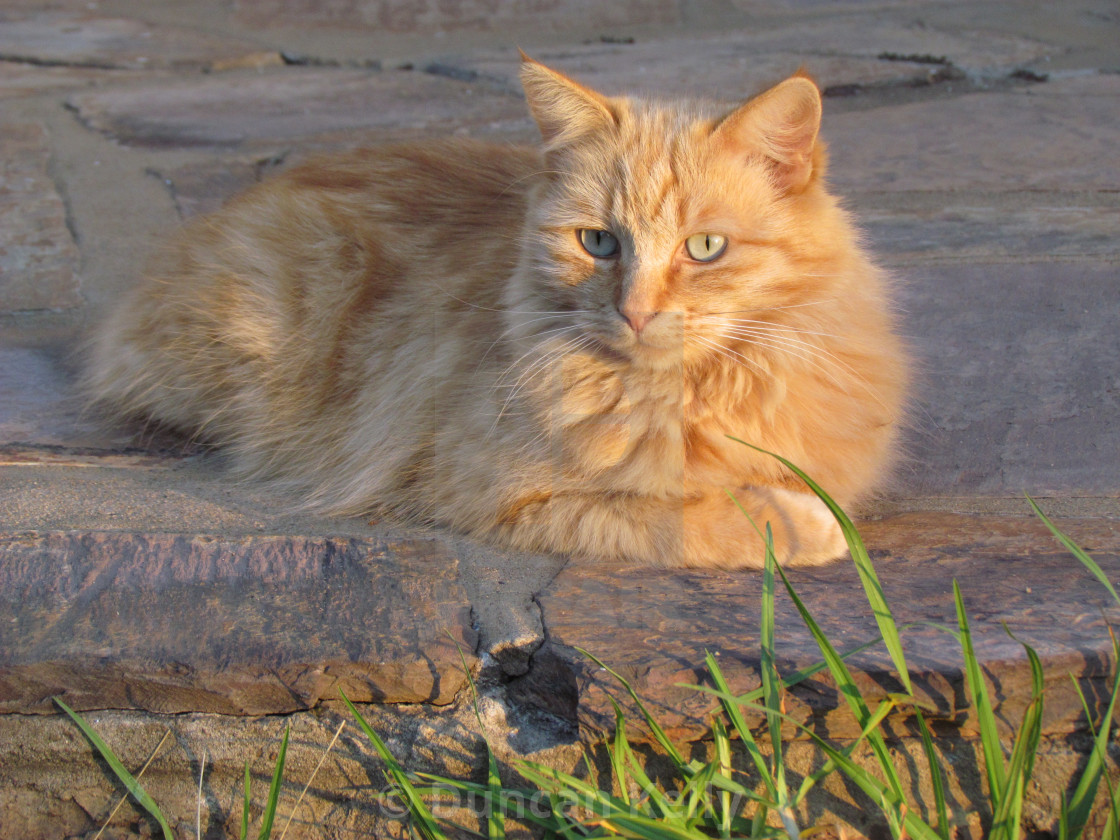 """""""Ginger cat lies on a patio in afternoon sun."""" stock image"""