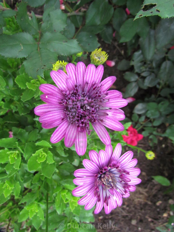 """A purple gerbera daisy in a garden"" stock image"