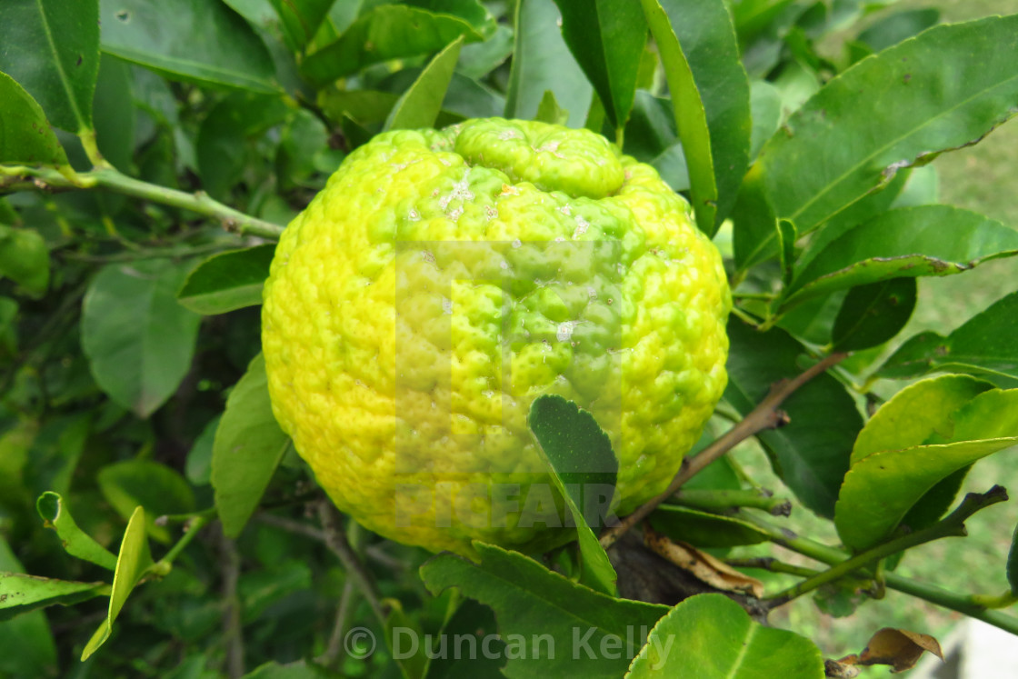 """""""Knobbly South African lemon just ripening"""" stock image"""