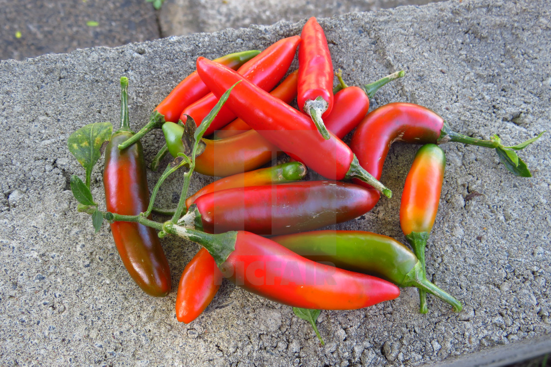 """""""Freshly picked Serrano chillies, straight off the bush, in various stages of ripening."""" stock image"""