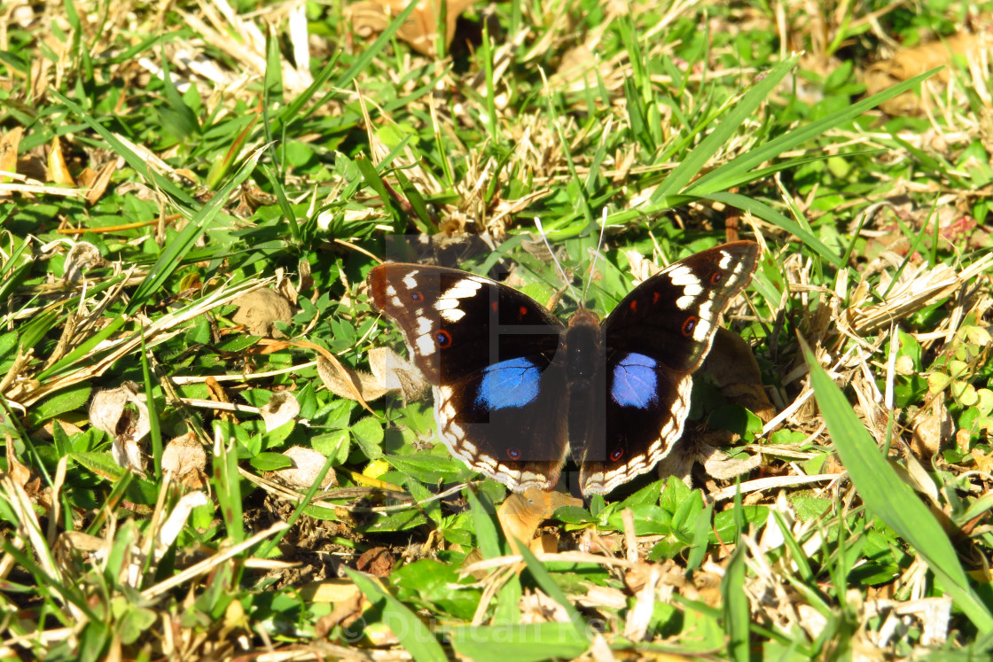 """""""A beautiful butterfly with luminescent blue spots."""" stock image"""