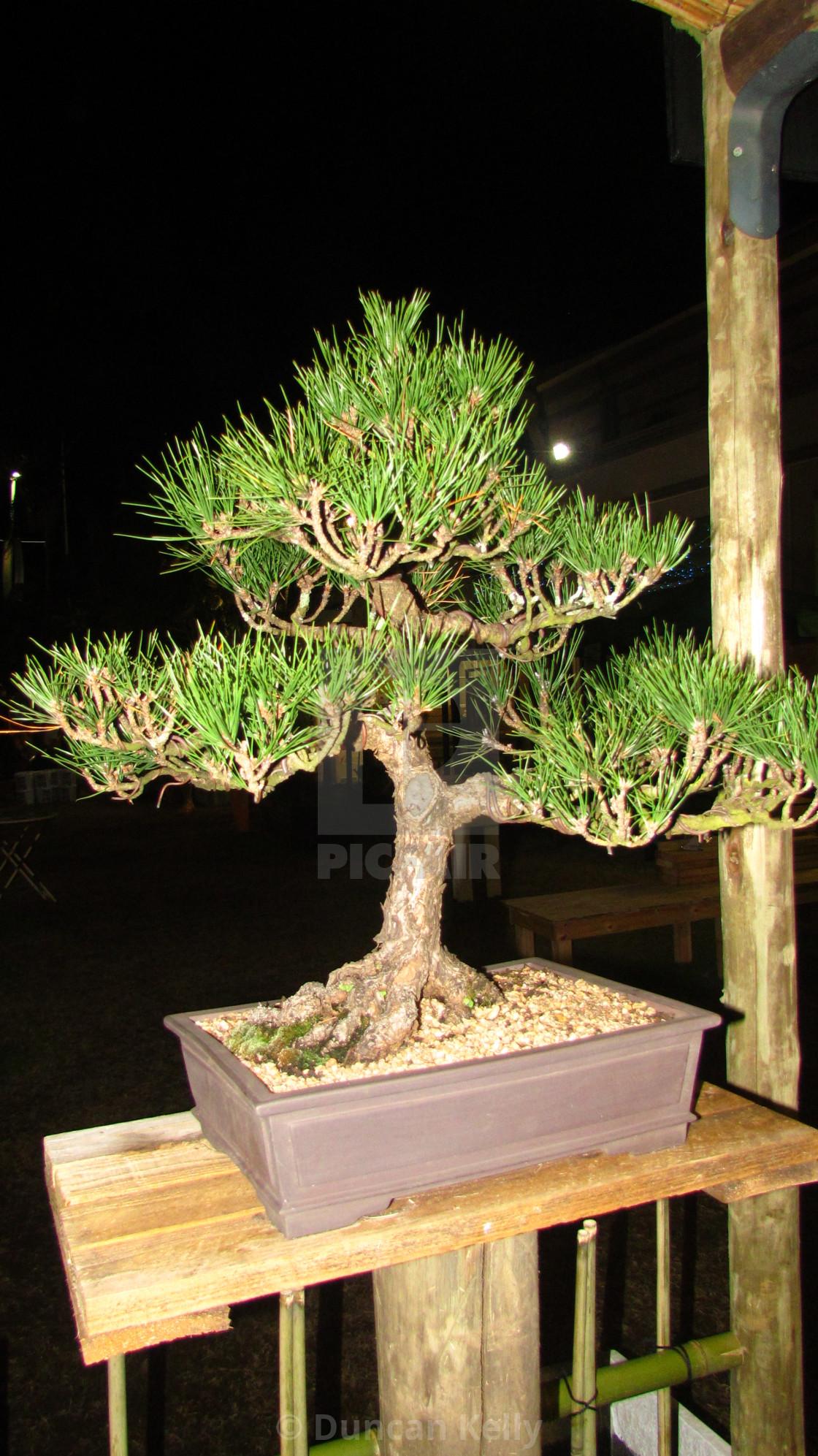 """A well established Bonzai tree in flash light."" stock image"