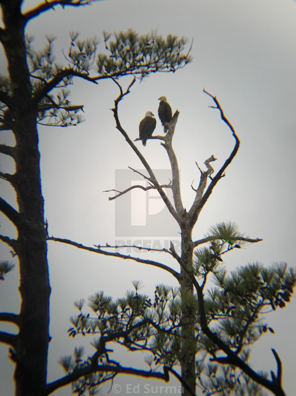 """Eagles at Sunrise"" stock image"