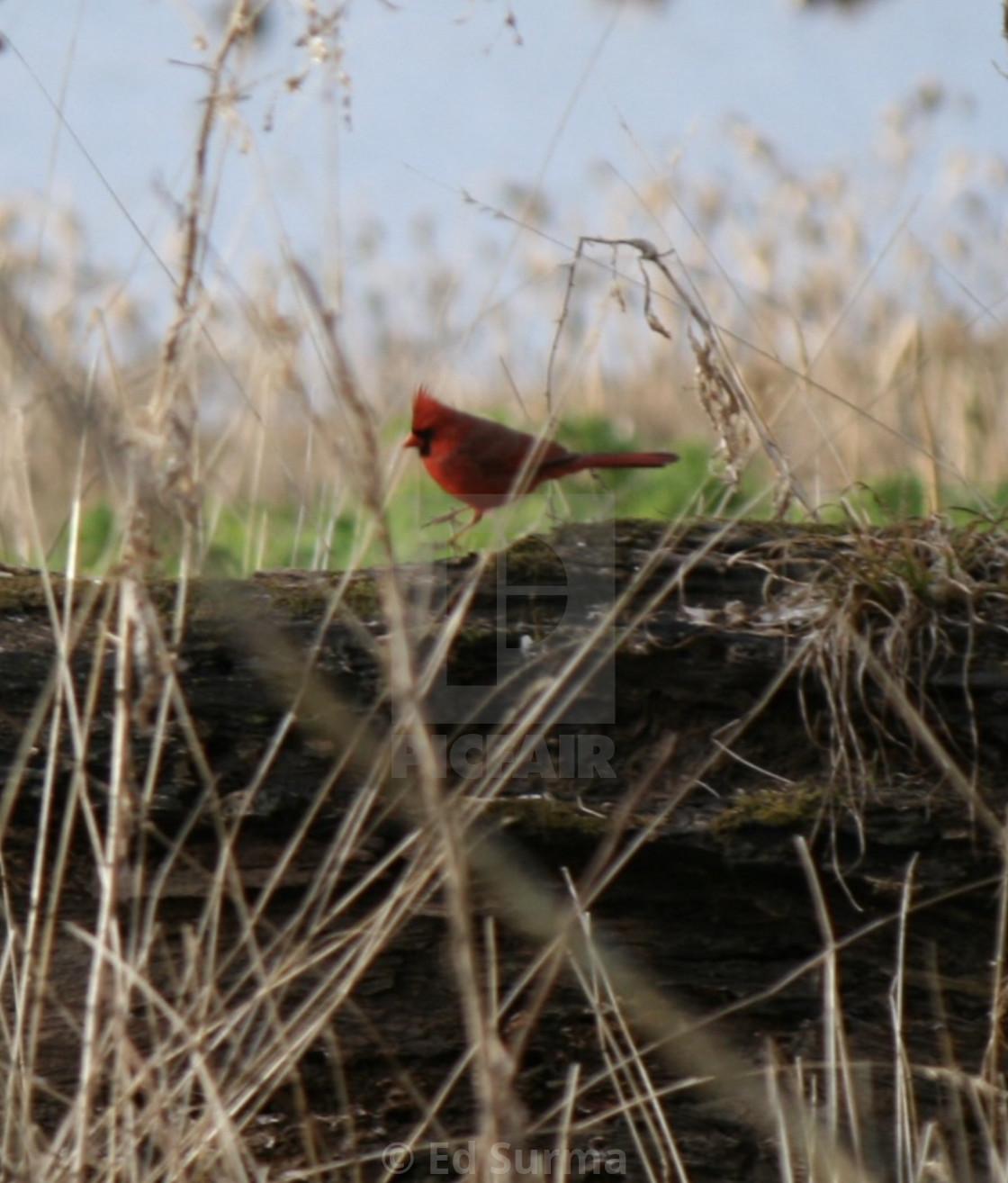 """""""Hopping Cardinal"""" stock image"""
